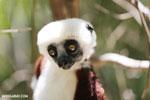 Coquerel's sifaka (Propithecus coquereli) [madagascar_ankarafantsika_0647]
