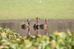 White-faced Whistling Ducks [madagascar_ankarafantsika_0650]