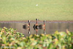 White-faced Whistling Ducks [madagascar_ankarafantsika_0651]