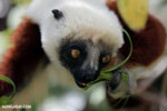 Coquerel's sifaka (Propithecus coquereli) [madagascar_ankarafantsika_0654]