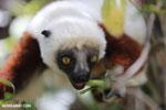 Coquerel's sifaka (Propithecus coquereli) [madagascar_ankarafantsika_0657]
