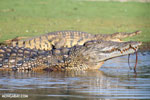 Nile crocodile [madagascar_ankarafantsika_0662]