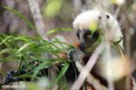 Coquerel's sifaka (Propithecus coquereli) feeding [madagascar_ankarafantsika_0664]