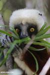 Coquerel's sifaka (Propithecus coquereli) feeding [madagascar_ankarafantsika_0665]