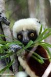 Coquerel's sifaka (Propithecus coquereli) feeding [madagascar_ankarafantsika_0666]