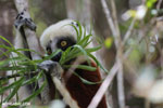 Coquerel's sifaka (Propithecus coquereli) feeding [madagascar_ankarafantsika_0668]
