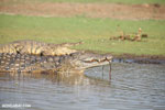Nile crocodiles in Lake Ravelobe