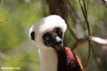Coquerel's sifaka (Propithecus coquereli) [madagascar_ankarafantsika_0675]