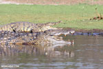 Nile crocodiles in Lake Ravelobe [madagascar_ankarafantsika_0676]