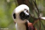 Coquerel's sifaka (Propithecus coquereli) [madagascar_ankarafantsika_0677]
