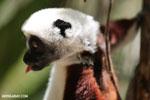 Coquerel's sifaka (Propithecus coquereli) [madagascar_ankarafantsika_0679]