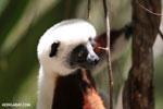 Coquerel's sifaka (Propithecus coquereli) [madagascar_ankarafantsika_0681]