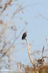 Madagascar fish eagle [madagascar_ankarafantsika_0688]