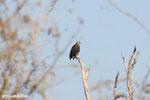 Madagascar fish eagle [madagascar_ankarafantsika_0689]