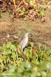 Striated Heron (Butorides striata) [madagascar_ankarafantsika_0696]