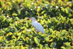 Cattle Egret (Bubulcus ibis) [madagascar_ankarafantsika_0701]
