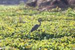 Purple Heron (Ardea purpurea) [madagascar_ankarafantsika_0707]