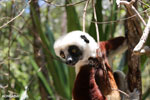 Coquerel's sifaka (Propithecus coquereli) [madagascar_ankarafantsika_0708]