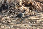 Bird [madagascar_ankarafantsika_0709]
