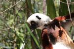 Coquerel's sifaka (Propithecus coquereli) [madagascar_ankarafantsika_0710]
