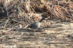 Bird [madagascar_ankarafantsika_0711]