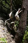 Coquerel's sifaka (Propithecus coquereli) [madagascar_ankarafantsika_0736]