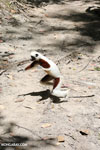 Coquerel's sifaka (Propithecus coquereli) [madagascar_ankarafantsika_0737]