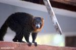 Male mongoose lemur (Eulemur mongoz) [madagascar_ankarafantsika_0740]