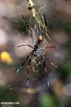 Orb spider [madagascar_ankarafantsika_0748]