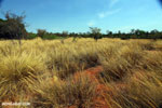 Savanna at Ankarokaroka [madagascar_ankarafantsika_0750]