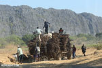 Sugar cane being stacked on a tractor [madagascar_ankarana_0023]