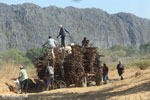 Sugar cane being stacked on a tractor [madagascar_ankarana_0024]
