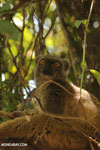 Female Sanford's brown lemur (Eulemur sanfordi)