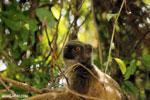 Female Sanford's brown lemur (Eulemur sanfordi) [madagascar_ankarana_0030]