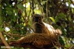 Female Sanford's brown lemur (Eulemur sanfordi) [madagascar_ankarana_0033]