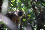 Male Sanford's brown lemur (Eulemur sanfordi)