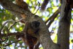 Female Sanford's brown lemur (Eulemur sanfordi) [madagascar_ankarana_0061]