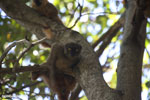 Female Sanford's brown lemur (Eulemur sanfordi) [madagascar_ankarana_0062]