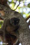 Female Sanford's brown lemur (Eulemur sanfordi) [madagascar_ankarana_0064]