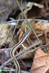 Mimophis mahfalensis snake [madagascar_ankarana_0065]