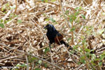 Malagasy Coucal (Centropus toulou)