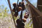 Seed pods [madagascar_ankarana_0079]