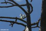 Flowering tree [madagascar_ankarana_0080]