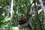 Pair of Sanford's brown lemur (Eulemur sanfordi) [madagascar_ankarana_0143]
