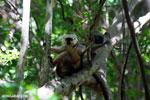 Pair of Sanford's brown lemur (Eulemur sanfordi) [madagascar_ankarana_0144]
