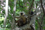 Pair of Sanford's brown lemur (Eulemur sanfordi) [madagascar_ankarana_0146]