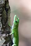 Madagascar giant day gecko (Phelsuma madagascariensis grandis) [madagascar_ankarana_0150]