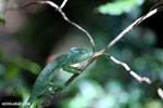 Female Oustalet's chameleon [madagascar_ankarana_0152]