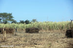 Stacks of sugar cane in Madagascar [madagascar_ankarana_0162]