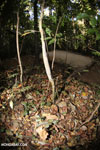 Camouflaged Uroplatus gecko [madagascar_ankarana_0174]